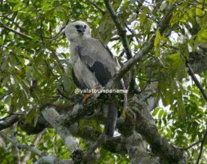 Harpy Eagle Darien National Park
