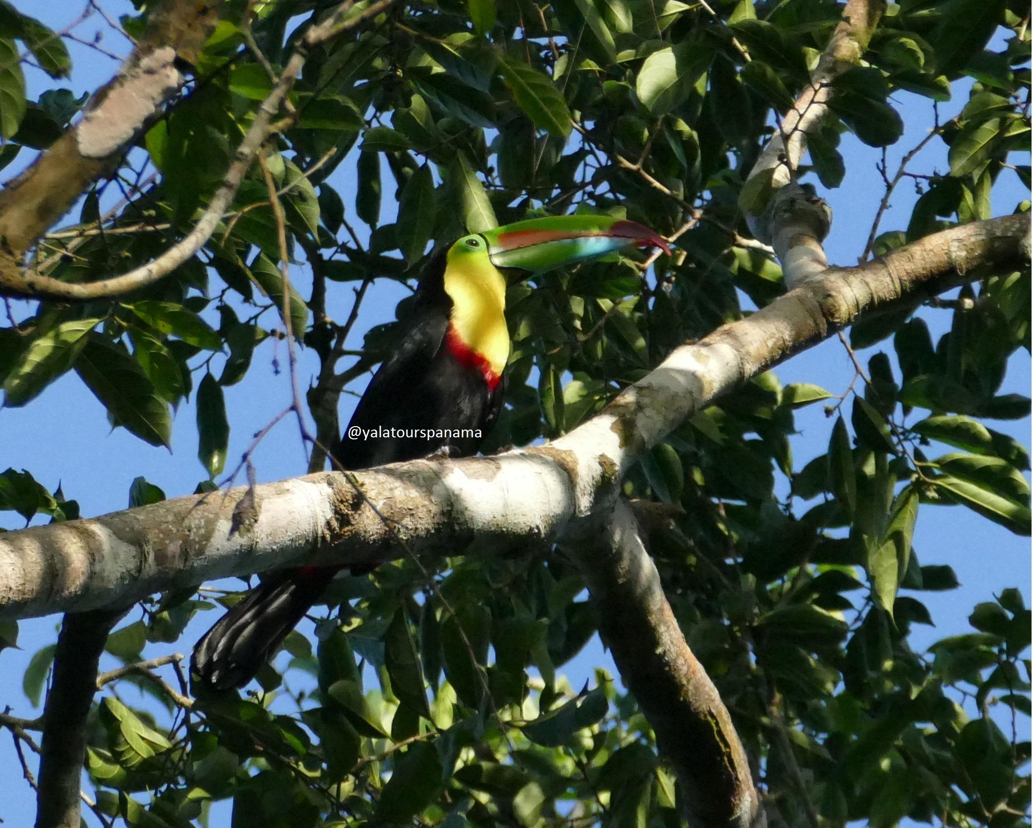 Birding in Panama Toucan Yala Tours Panama
